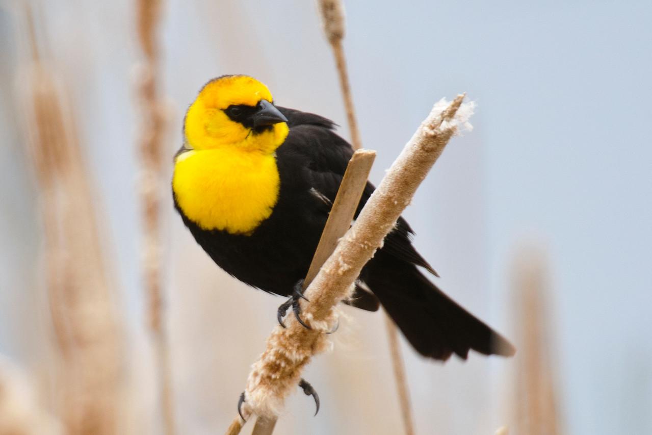 Blackbird - Yellow-headed - male - Cohasset - Itasca County, MN - 02