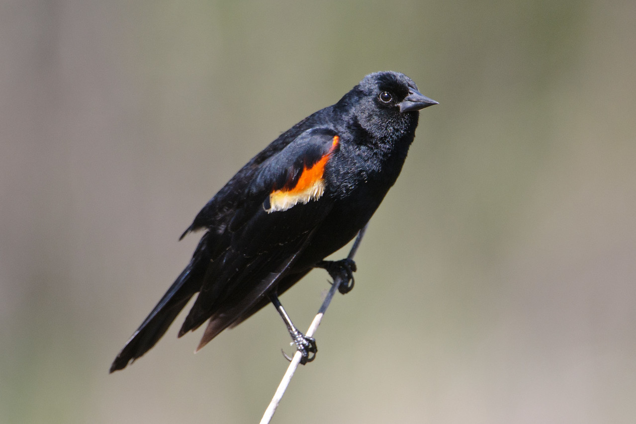 Blackbird - Red-winged - male - Bovey, MN - 01