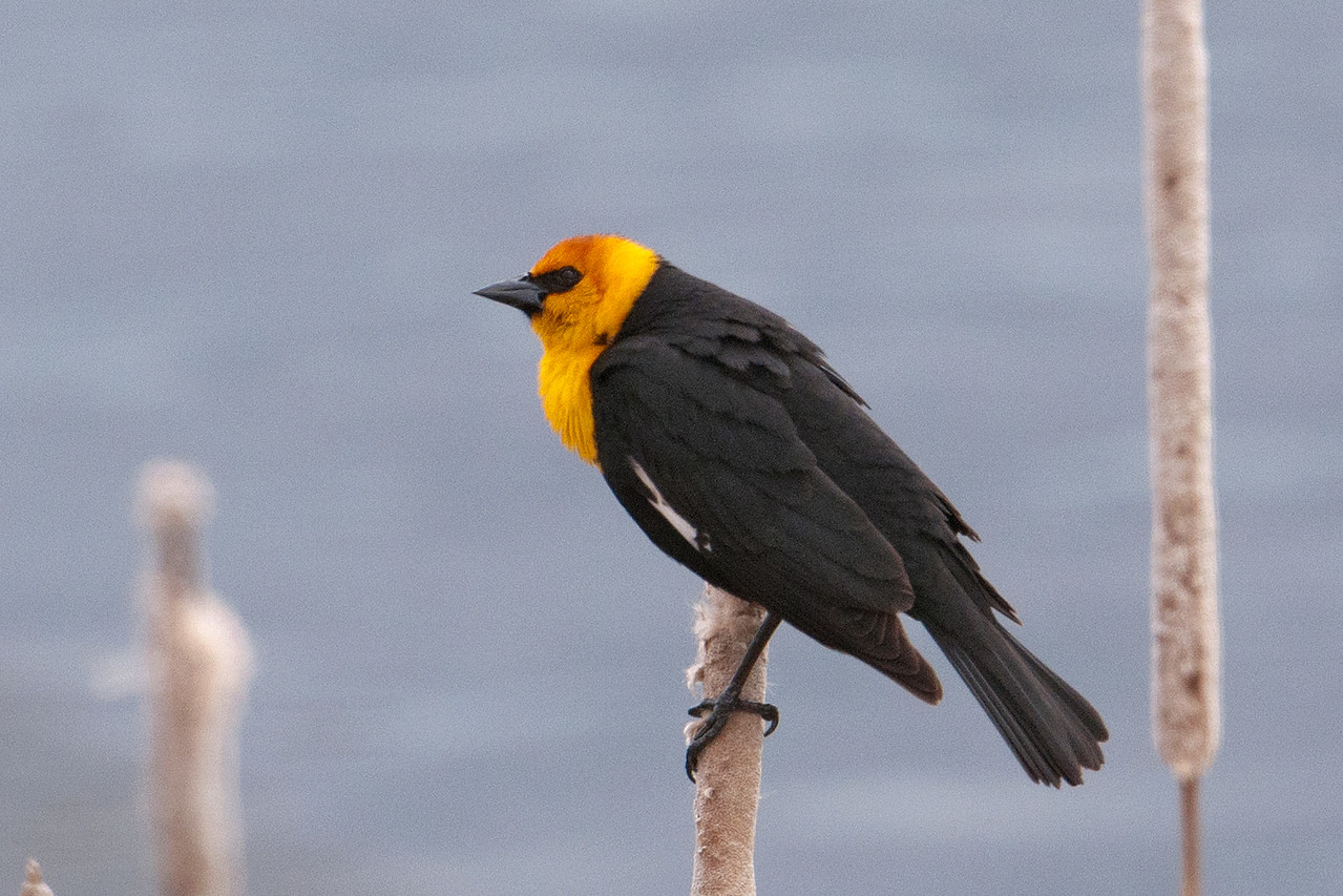 Blackbird - Yellow-headed - male - Cohasset - Itasca County, MN - 01
