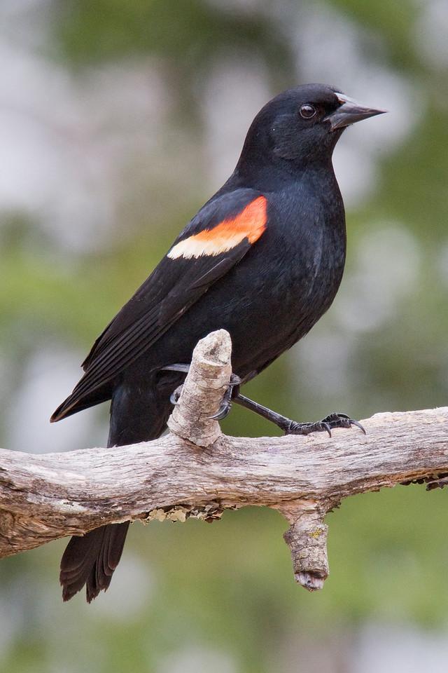 Blackbird - Red-winged - male - Dunning Lake, MN - 03
