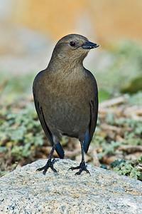 Blackbird - Brewer's - female - Monterey Peninsula, CA