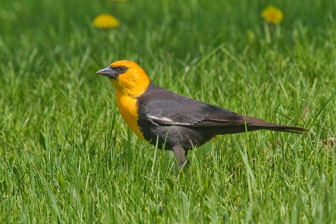 Blackbird - Yellow-headed - male - Deer River, MN - 03