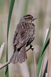 Blackbird - Red-winged - female - Bovey, MN