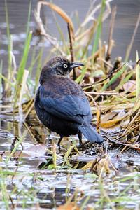 Blackbird - Rusty - Dunning Lake - Bovey, MN