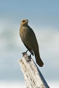 Blackbird - Brewer's - female - Bandon, OR