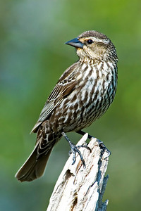 Blackbird - Red-winged - female - Dunning Lake, MN - 01