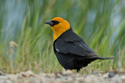 Blackbird - Yellow-headed - male - Waconia, MN