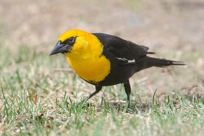 Blackbird - Yellow-headed - Deer River, MN
