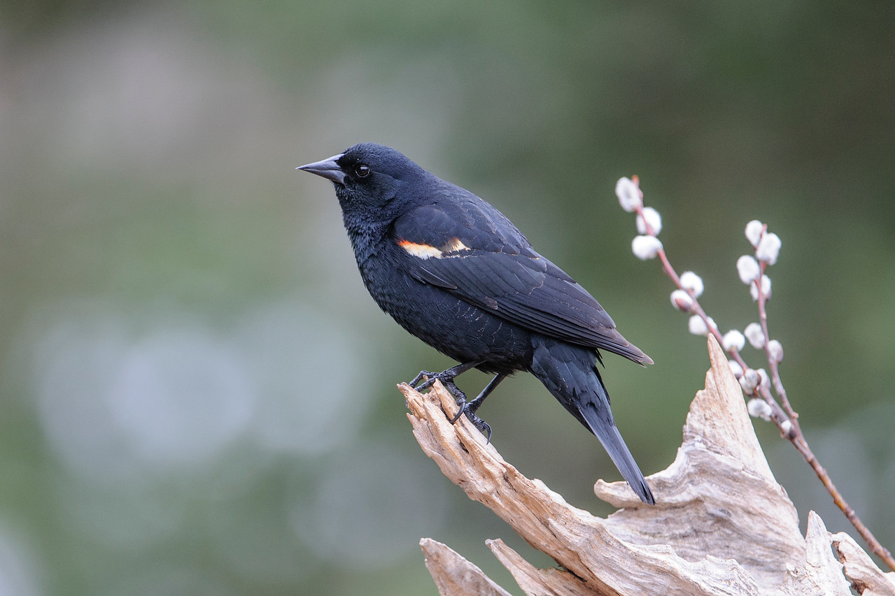 Blackbird - Red-winged - male - Dunning Lake - Itasca County, MN