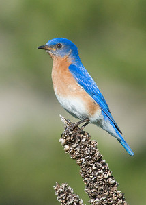 Bluebird - Eastern - male - Long Lake Regional Park - New Brighton, MN - 01