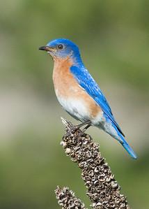 Bluebird - Eastern - male - Long Lake Regional Park - New Brighton, MN - 01