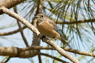 Bluebird - Western - juvenile - Guajome Regional Park - Oceanside, CA