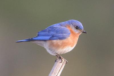 Bluebird - Eastern - male - Carrabelle, FL