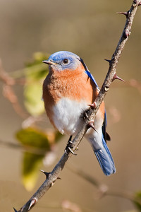 Bluebird - Eastern - male - Harris Neck NWR - GA - 01
