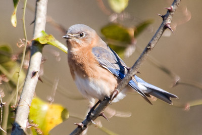 Bluebird - Eastern - female - Harris Neck NWR - GA - 02