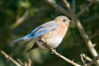 Bluebird - Eastern - female - Harris Neck NWR - GA - 01