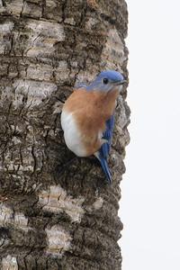 Bluebird - Eastern - male - Salinas Park, FL