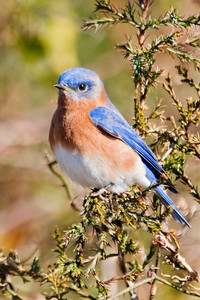 Bluebird - Eastern - male - Harris Neck NWR - GA - 02