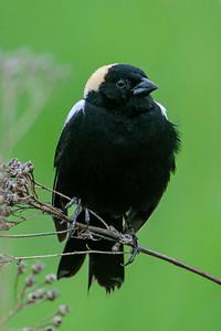 Bobolink - male - Elm Drive - Itasca County, MN