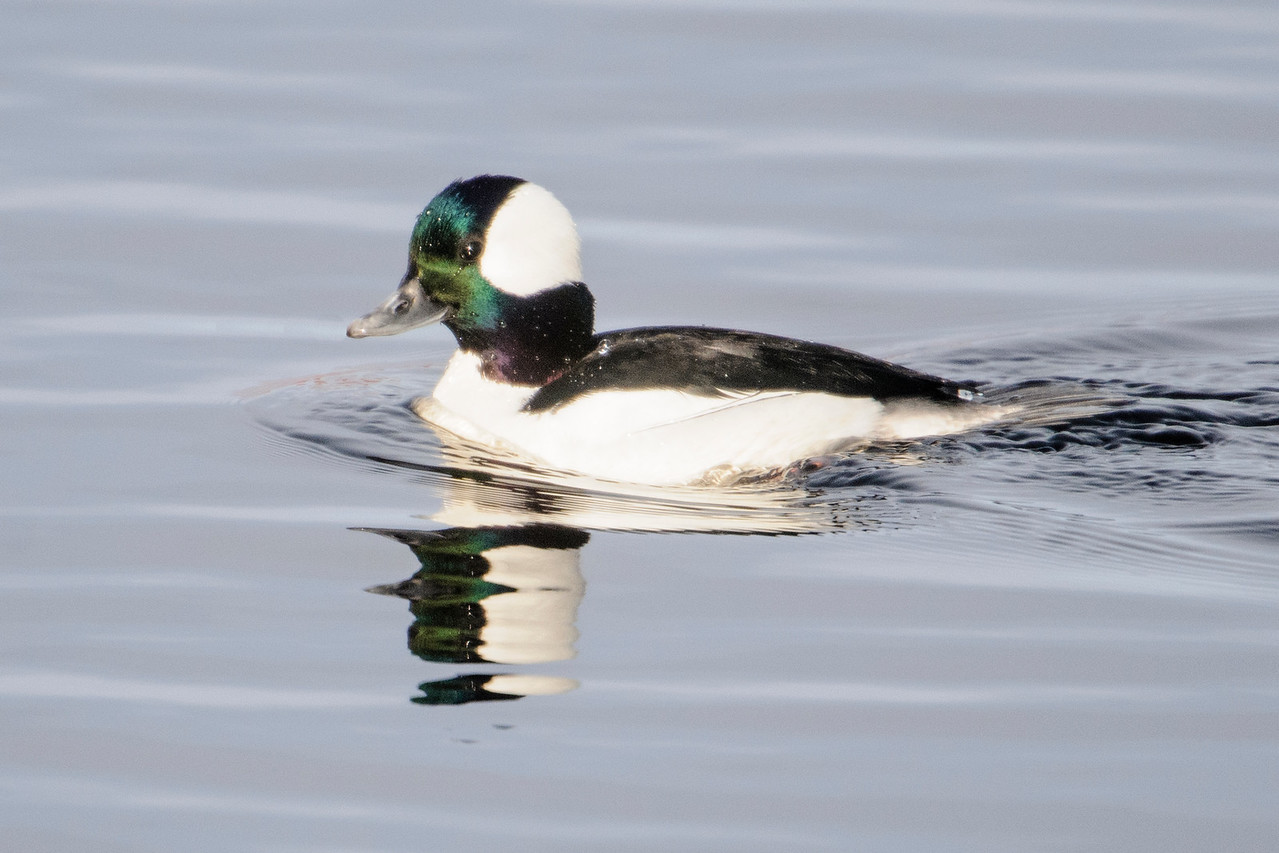 Bufflehead - male - Grand Rapids, MN