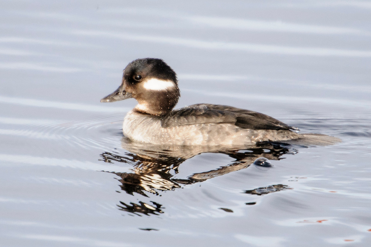 Bufflehead - female - Grand Rapids, MN