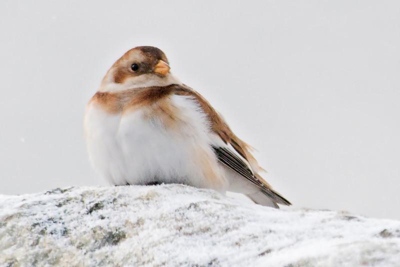 Bunting - Snow - Grand Marais, MN - 02