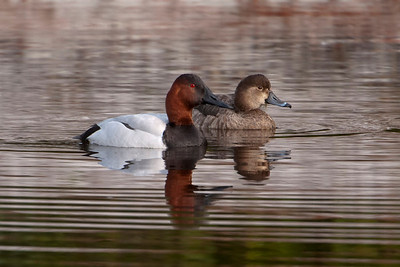 Canvasback - male and female Ring-necked Duck - St. George Island, FL - 01