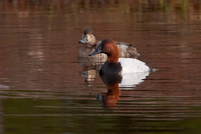 Canvasback - male and female Ring-necked Duck - St. George Island, FL - 02
