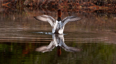 Canvasback - male - flapping - St. George Island, FL