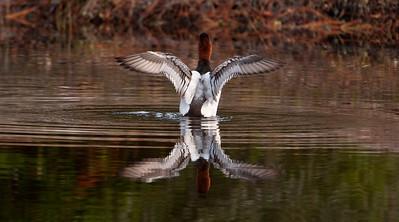 Canvasback - male - flapping - St. George Island, FL