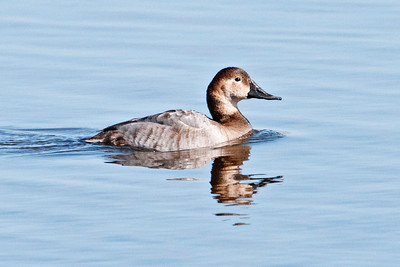 Canvasback - female - St. Marks NWR, FL - 02