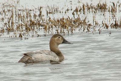 Canvasback - female - St. Marks NWR, FL - 01