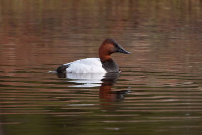 Canvasback - male - St. George Island, FL - 01