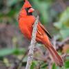 Cardinal - Northern - male - Apalachicola, FL