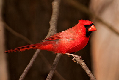 Cardinal - Northern - male - Potawatomi State Park - Door County, WI - 02