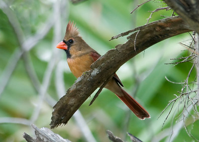 Cardinal - Northern - female - Cape San Blas, FL - 01