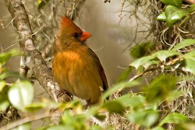 Cardinal - Northern - female - Jekyll Island, GA - 01