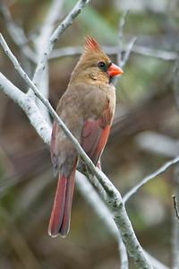 Cardinal - Northern - female - Cape San Blas, FL - 02
