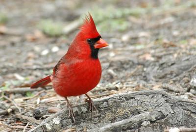 Cardinal - Northern - male - Jekyll Island, GA - 01