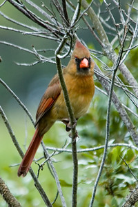 Cardinal - Northern - female - Salinas Park, FL