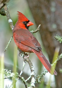 Cardinal - Northern - male - Eastpoint, FL