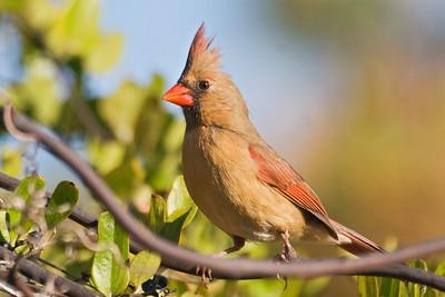 Cardinal - Northern - female - Ocracoke Island, NC