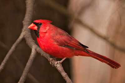 Cardinal - Northern - male - Potawatomi State Park - Door County, WI - 03