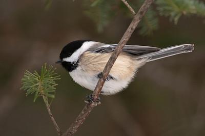 Chickadee - Black-capped - Sax Zim bog - MN - 03