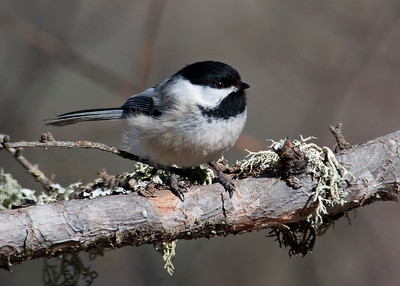 Chickadee - Black-capped - Sax Zim bog - MN - 01