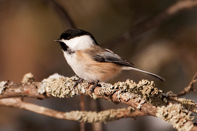 Chickadee - Black-capped - Itasca County, MN