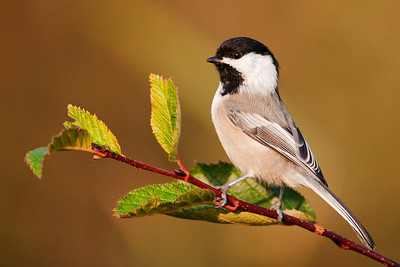 Chickadee - Black-capped - Sawtooth Harbor Rd - Cook County, MN - 01