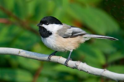 Chickadee - Black-capped - Grand Marais, MN