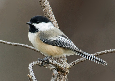 Chickadee - Black-capped - Gunflint Trail - Cook County, MN