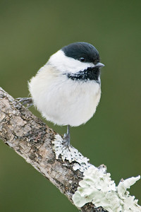 Chickadee - Black-capped - Dunning Lake, MN - 03